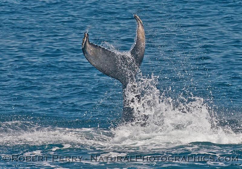 Megaptera novaeagliae calf tail slap seq 2015 05-24 SB Channel-146
