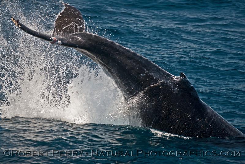 Megaptera novaeangliae tail throw 2015 06-29-SB Channel-b-040