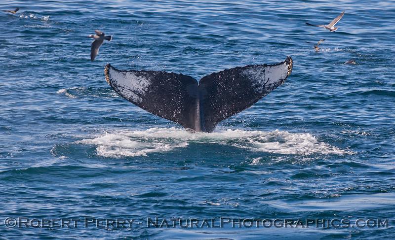 Megaptera novaeangliae tail fluke 2011 10-30 SB Channel f - 019