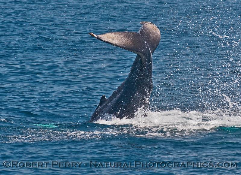 Megaptera novaeagliae calf tail slap seq 2015 05-24 SB Channel-164