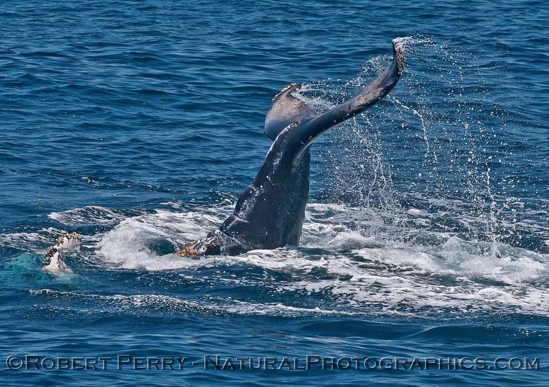 Megaptera novaeagliae calf tail slap seq 2015 05-24 SB Channel-216