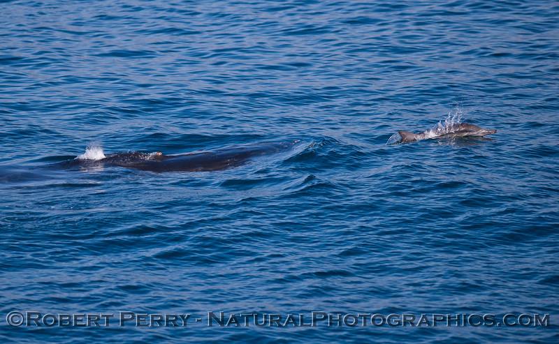 Megaptera novaeangliae & Delphinus capensis 2011 10-30 SB Channel - 021