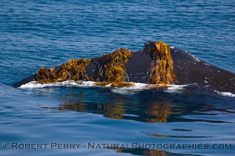 Megaptera novaengliae dorsal fin draped in kelp 2008 06-08 SB Channel--147