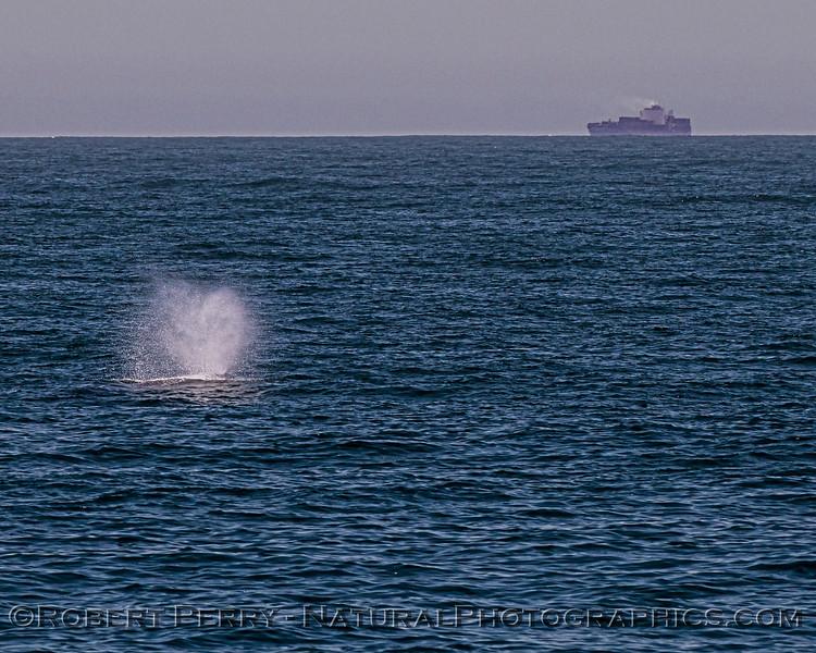Megaptera novaeangliae spout & ship in distance 2020 06-14 SB Channel--027