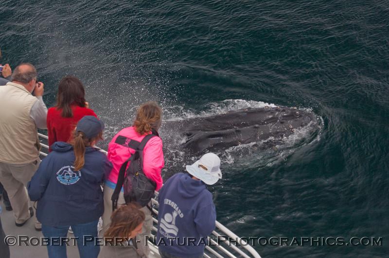 Megaptera novaeangliae CLOSE & passengers 2010 06-13 SB Channel a - 155