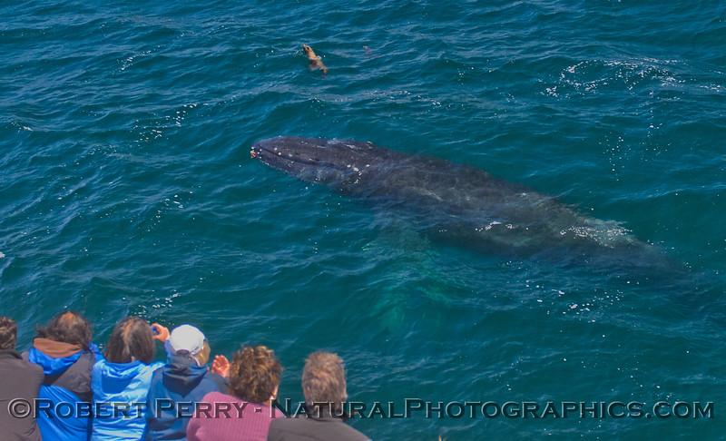 Megaptera novaeangliae & Zalophus & passengers 2011 07-30 SB Channel f - 022