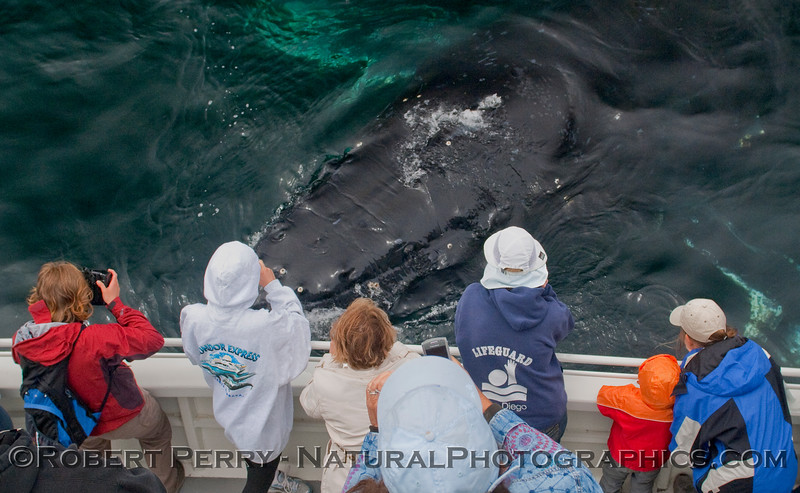 Megaptera novaeangliae EXTREMELY CLOSE & passengers 2010 06-13 SB Channel a - 195