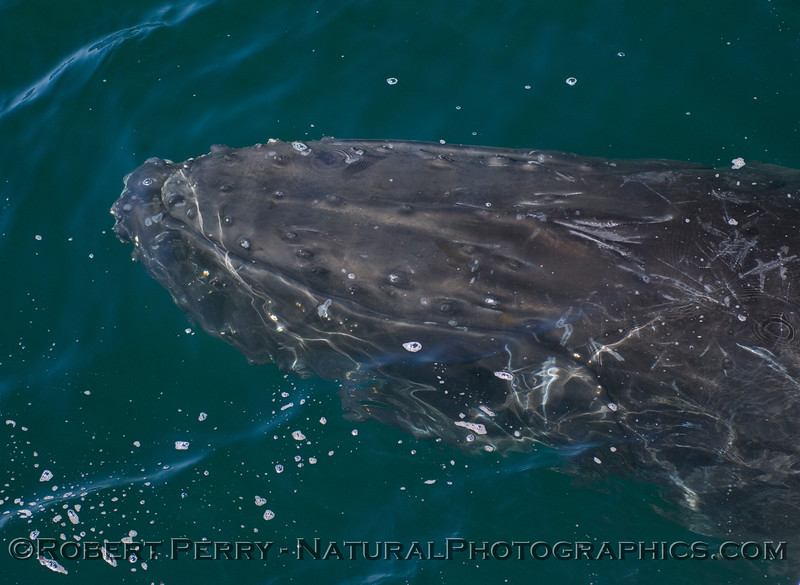 Megaptera novaeangliae 2011 04-22 SB Channel - 391