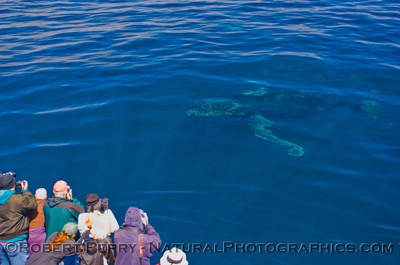 Megaptera novaeangliae & passengers 2011 05-21 SB Channel k -001