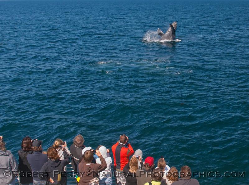 a4-Megaptera novaeangliae BREACH & passengers 2010 07-22 SB Channel a - 005