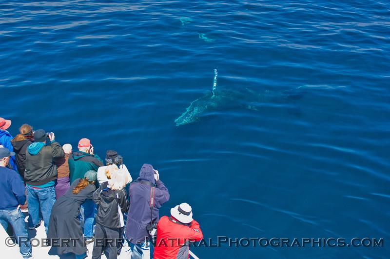Megaptera novaeangliae & passengers 2011 05-21 SB Channel k -007