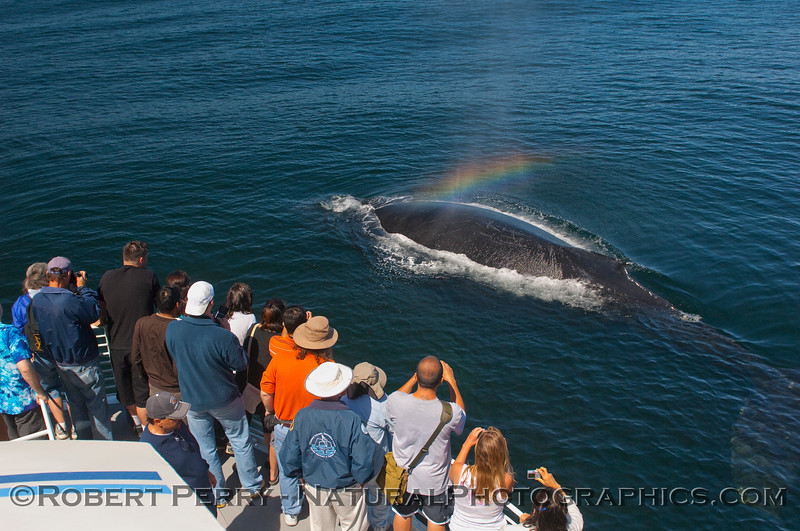 Megaptera novaeangliae & passengers & rainbow spray 2010 05-30 SB Channel b - 056