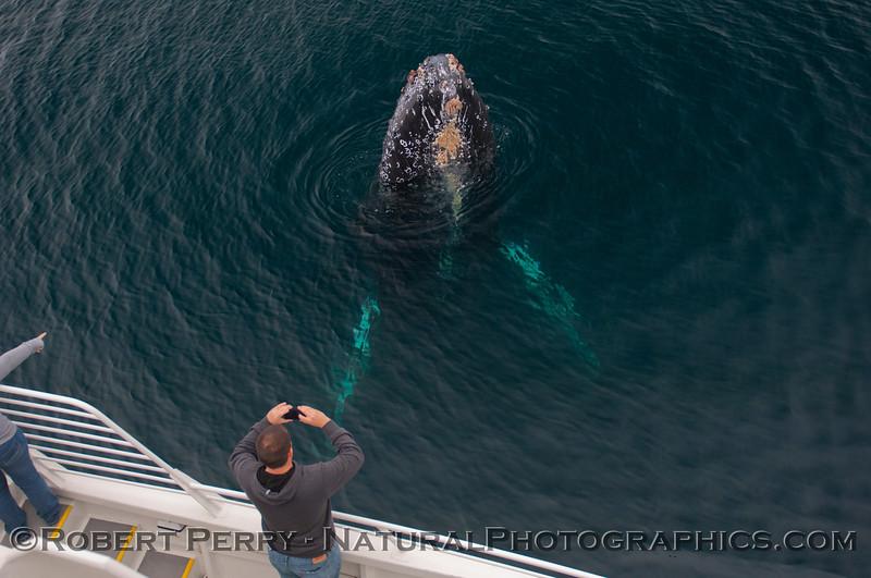 1-Megaptera novaeangliae & passenger 2012-02-25 SB Channel-a-103