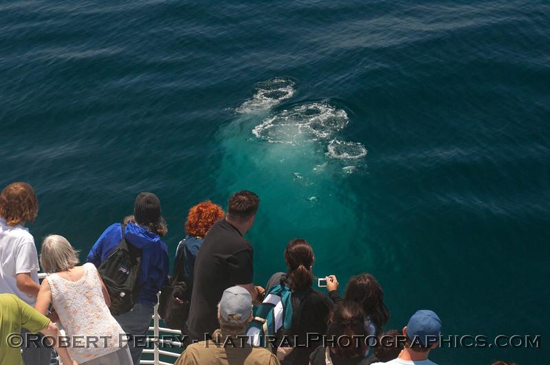 Megaptera novaeangliae UW bubble blast & passengers 2010 05-30 SB Channel b - 307