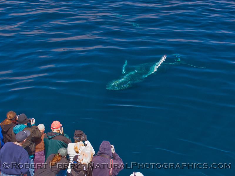 Megaptera novaeangliae & passengers 2011 05-21 SB Channel k -008