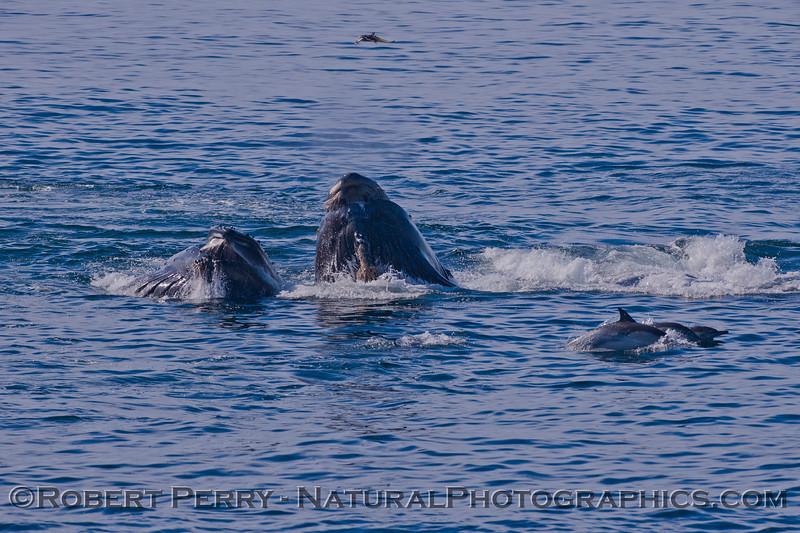 Megaptera novaeangliae & 3 Delphinus capensis 2011 10-30 SB Channel f - 014