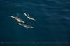 Delphinus capensis 4 UW 2015 03-27 SB Coast-c-059