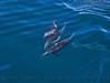 Delphinus capensis 2015 03-26 SB Coast-a-036