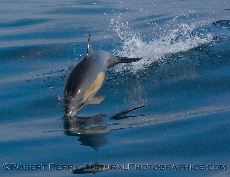 Extremely flat and glassy conditions - Common Dolphin (Delphinus sp) leaps.