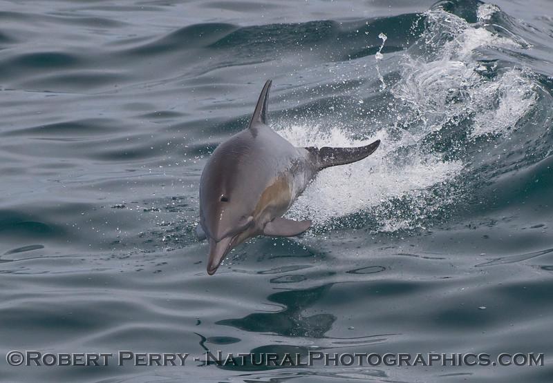 Delphinus capensis 1 leap at camera 2009 08-01 SB Channel c  - 169