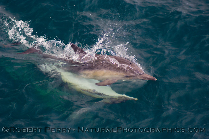 Common dolphins (Delphinus sp) high speed mating.