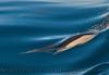 Delphinus capensis 2015 03-26 SB Coast-254