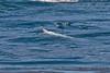 Delphinus capensis feeding Engraulis mordax 2015 03-27 SB Coast-002