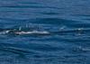 Delphinus capensis feeding Engraulis mordax 2015 03-27 SB Coast-274