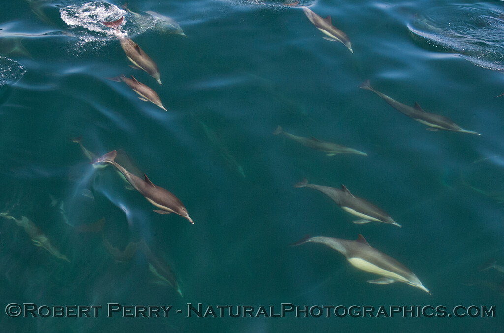 Delphinus capensis 2012 03-20 SB Channel-a-040