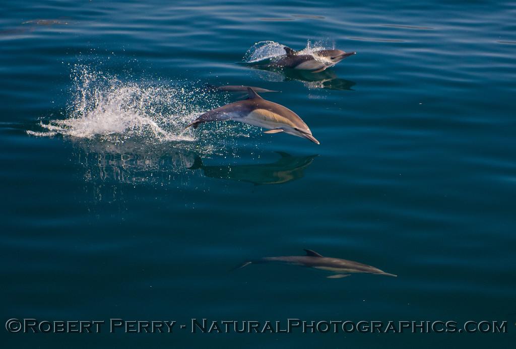 10-Delphinus capensis 2011 10-30 SB Channel g - 032
