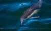 Delphinus capensis 2010 03-16 SB Channel MHS - 013