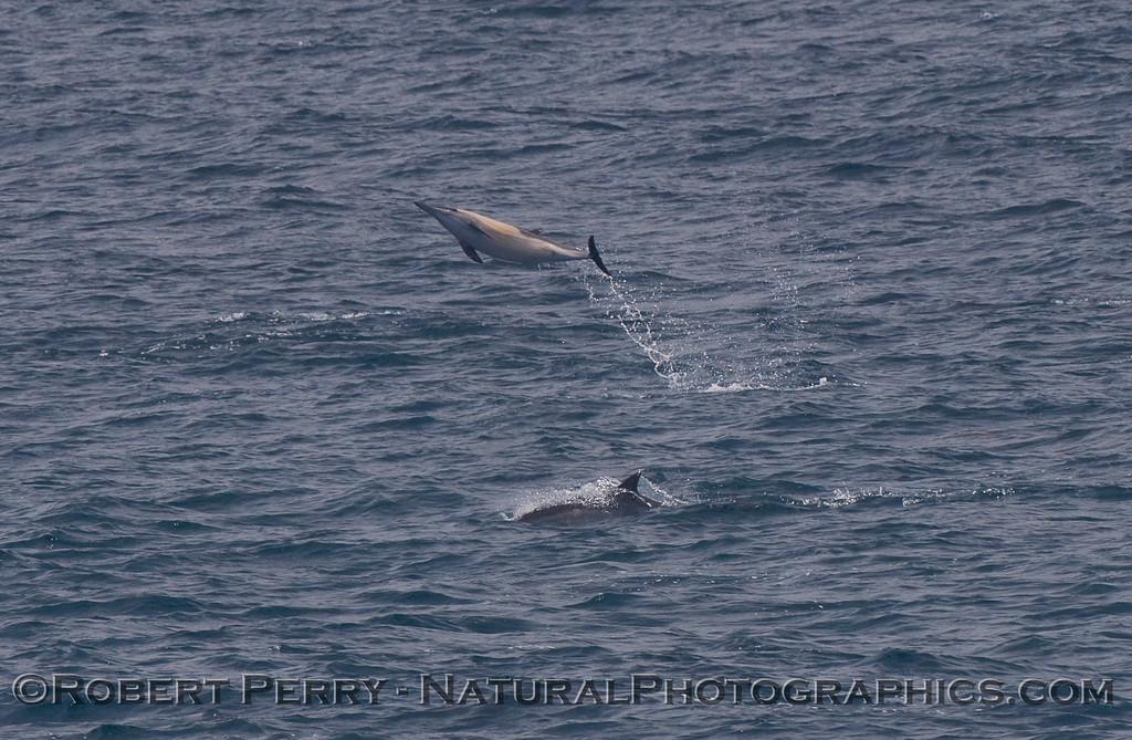Delphinus capensis big leap 2010 07-11 SB Channel a - 040
