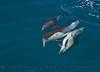 Delphinus capensis 2015 03-26 SB Coast-a-034