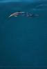 Delphinus capensis 2015 03-27 SB Coast-c-069