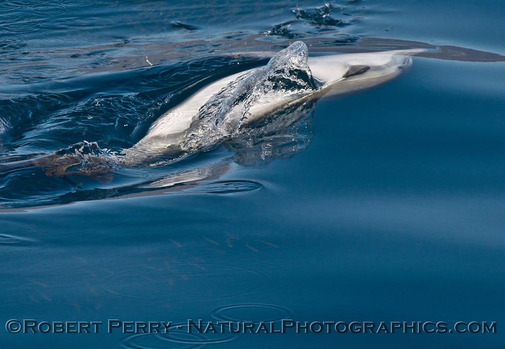 Delphinus capensis feeding Engraulis mordax CLOSE 2013 11-02 SB Channel East-021