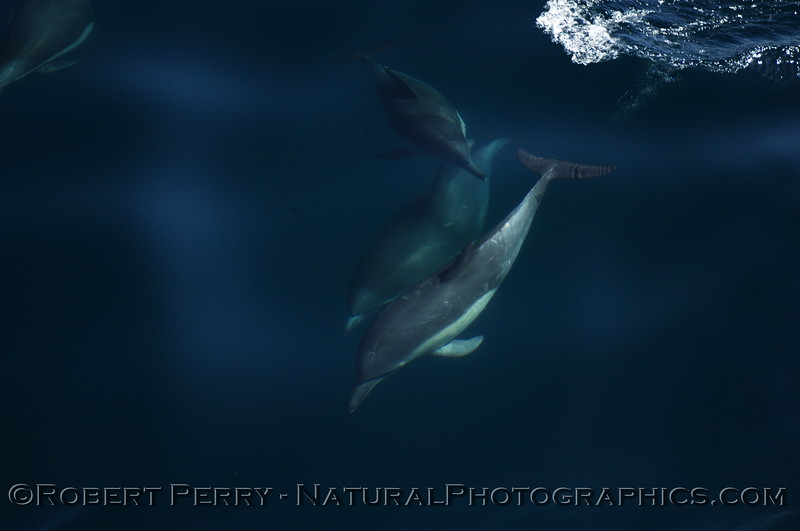 Blue water, three Common Dolphins (plus another in the left corner.