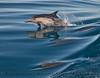 Delphinus capensis 2015 03-26 SB Coast-256