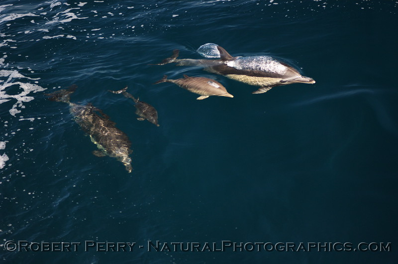 Two cow & calf pairs of common dolphins in clear blue water.
