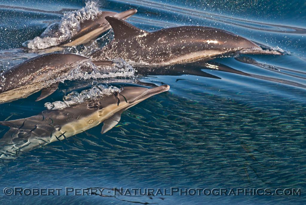 Delphinus capensis feeding Engraulis mordax CLOSE 2013 11-02 SB Channel East-042