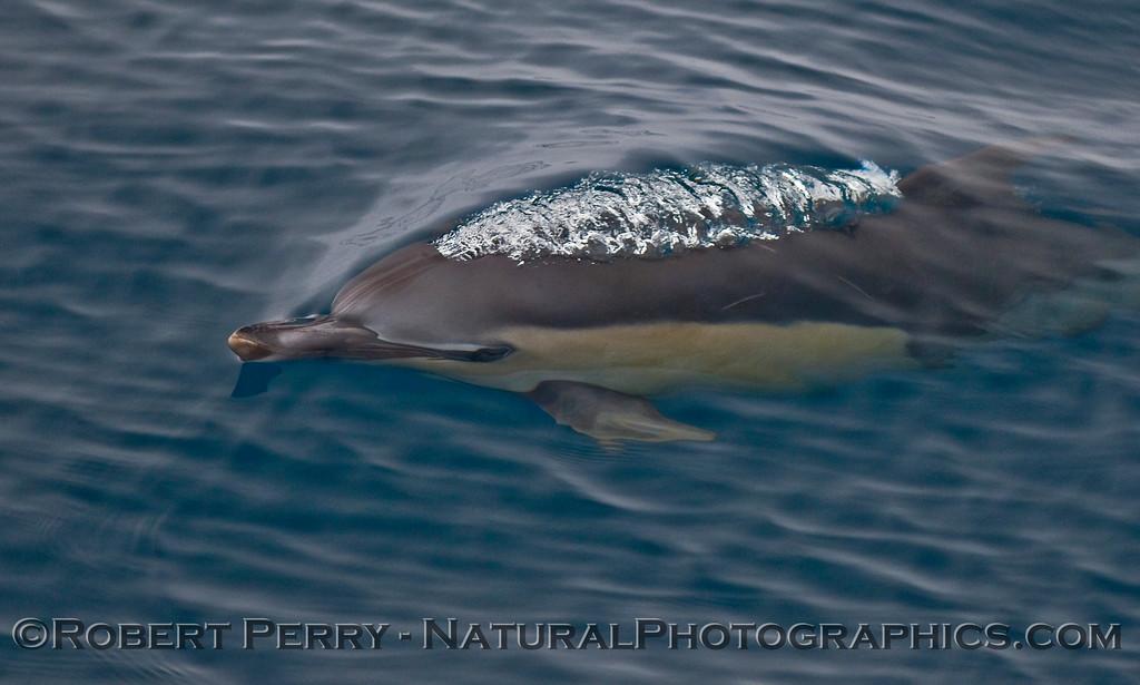Delphinus capensis 2009 10-18 SB Channel a  - 032