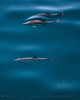 Delphinus capensis 3 UW 2015 03-27 SB Coast-c-011