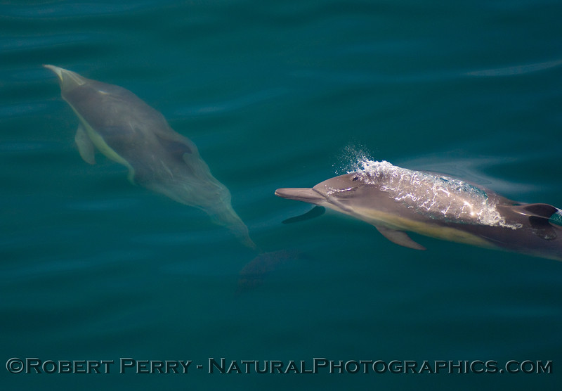 One up, one down - Common Dolphin (Delphinus sp).