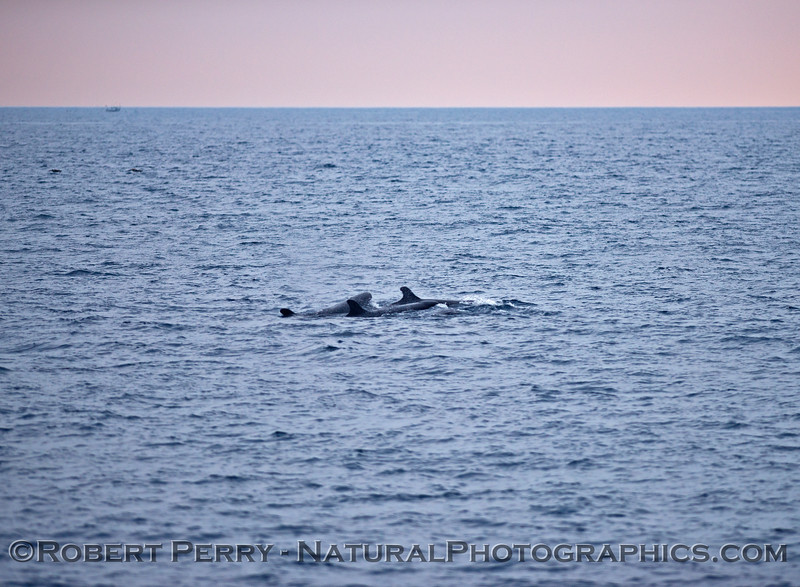 False Killer Whales - Santa Barbara Coast - Feb 21, 2015