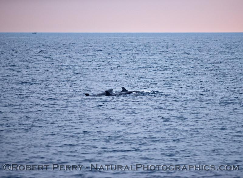 False Killer Whales - Santa Barbara Coast - Feb 21, 2015