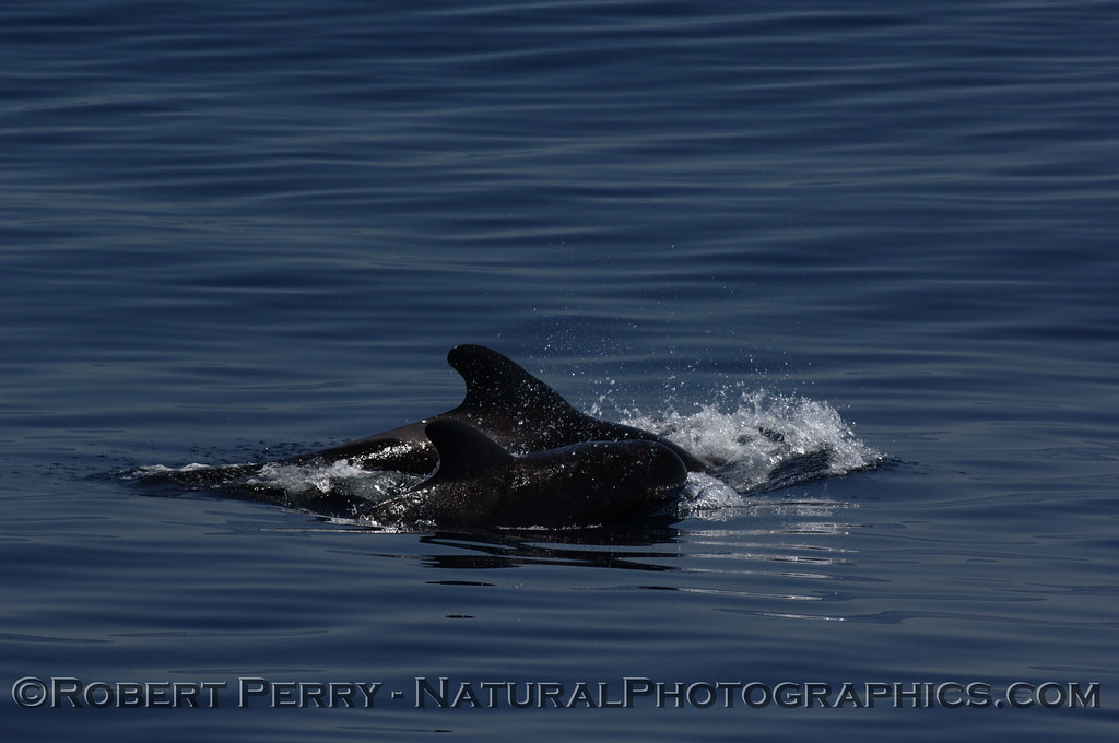 Pod of pilot whales on glassy blue water; series.