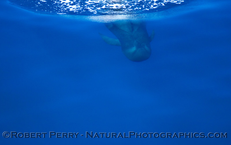 Pilot whale dive sequence: two.