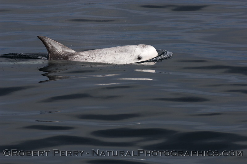 Risso's Dolphin with big black eyeball looking across the glassy water at the camera lens.