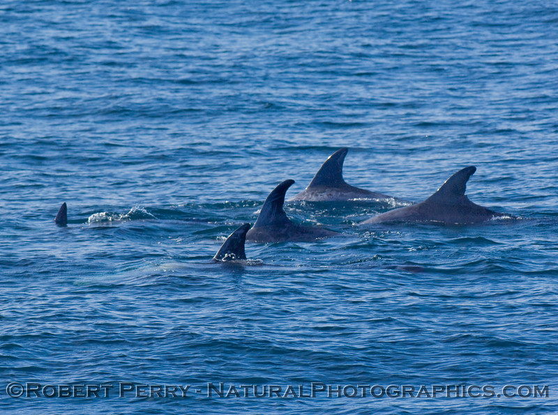 Dorsal fins of Risso's Dolphins (Grampus griseus)