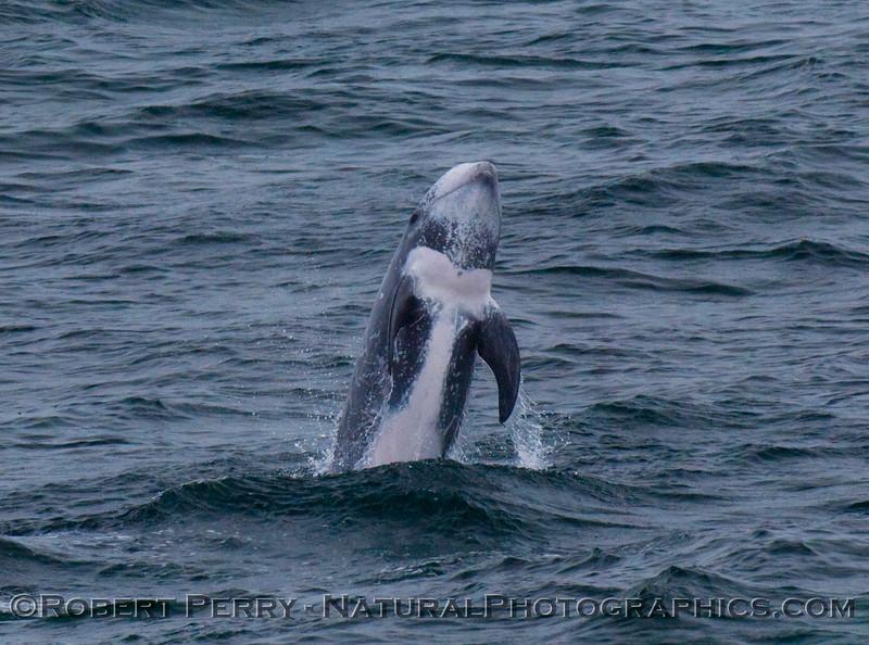 Risso's Dolphin breaching.