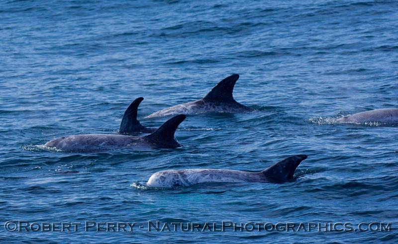 Risso's Dolphins (Grampus griseus)-2